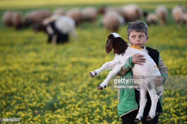 Syrian boy named Hussein Isa holds a sheep in his arms as he herds sheep in AlBab district of Aleppo Syria on March 27 2017 Life returns back to...