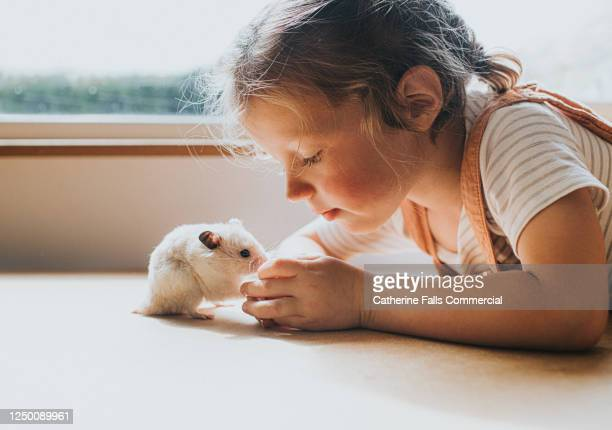 syrian hamster and a girl against a window - hamster stock-fotos und bilder