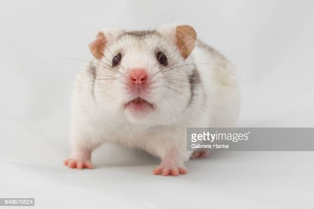 syrian hamster (mesocricetus auratus), captive, studio shot - golden hamster stock pictures, royalty-free photos & images