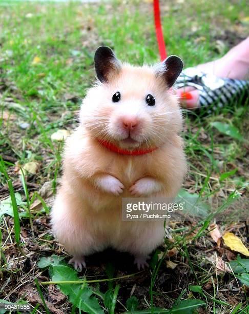 Syrian hamster Chmurka on a leash
