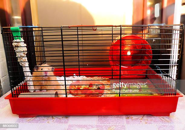 syrian hamster in a cage - hamster photos et images de collection