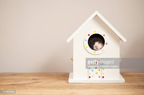 syrian hamster in bird house - golden hamster stock pictures, royalty-free photos & images