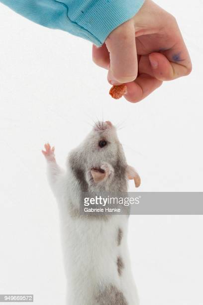 syrian hamster (mesocricetus auratus), is fed by child, makes male, studio shot - golden hamster stock pictures, royalty-free photos & images
