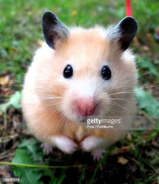 syrian hamster outdoors - hamster photos et images de collection