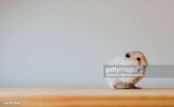 syrian hamster - 齧歯類 ストックフォトと画像