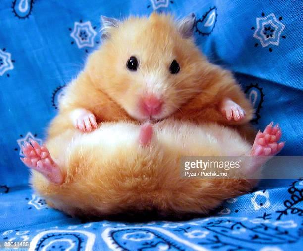 Syrian hamster sitting