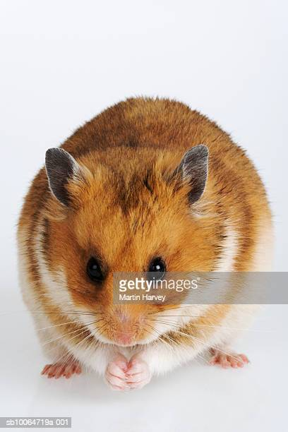 syrian hamster (mesocricetus auratus), studio shot - golden hamster stock pictures, royalty-free photos & images