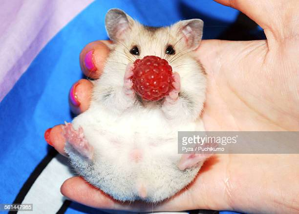 syrian hamster with raspberry - golden hamster stock pictures, royalty-free photos & images