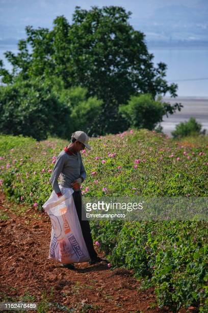 syrian worker collecting roses at rose harvest in i̇sparta province. - emreturanphoto stock pictures, royalty-free photos & images