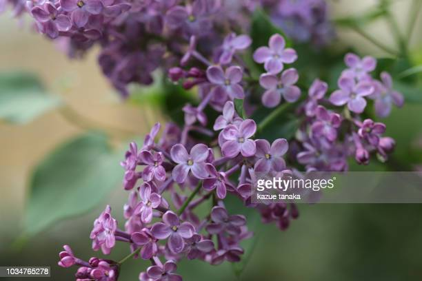 syringa vulgaris - purple lilac stock pictures, royalty-free photos & images