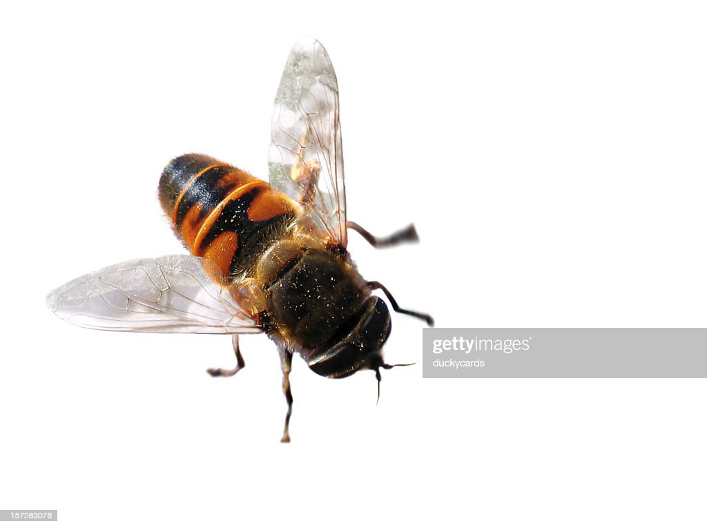 Syrphid Fly : Stock Photo