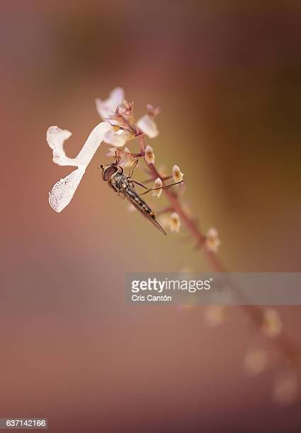 syrphid fly - cris cantón photography stock pictures, royalty-free photos & images