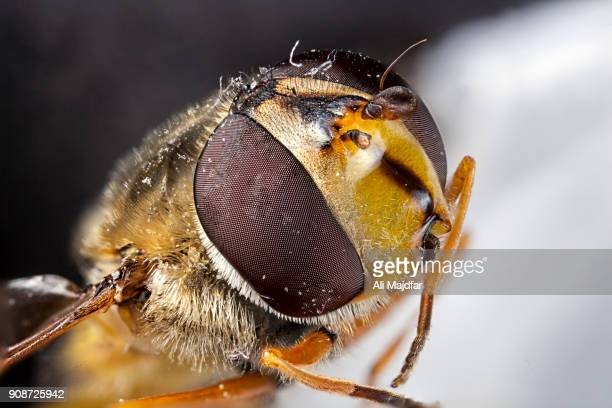 Syrphid Fly (Syrphus ribesii)