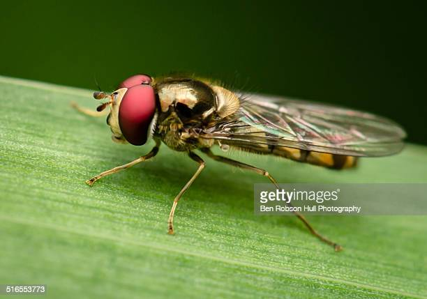 Syrphus vitripennis wasp-mimicking hover-fly