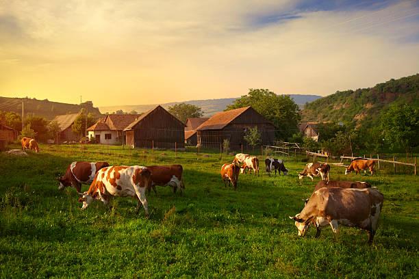 Szekler cow pasture