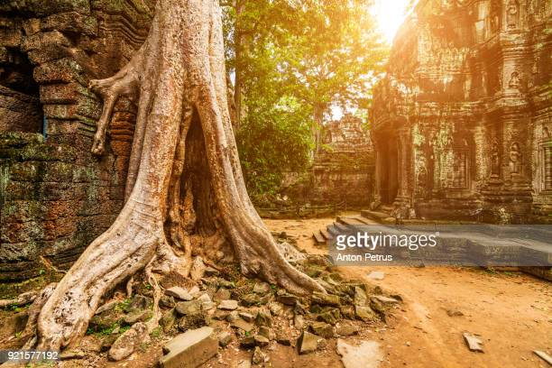 ta prohm temple in siem reap, cambodia. - angkor stock photos and pictures