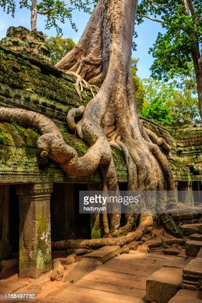 ta prohm temple near angkor wat, cambodia - cambodia stock pictures, royalty-free photos & images