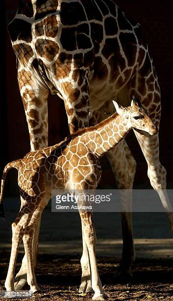 DENVER CO SEPT 25 2003 Taabu <cq> a new baby giraffe born on Sept 13 stays close to his father Dikembe <cq> during an early morning outing at the...