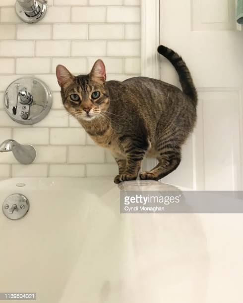 tabby cat balance on the edge of a bathtub - misbehaviour stock pictures, royalty-free photos & images