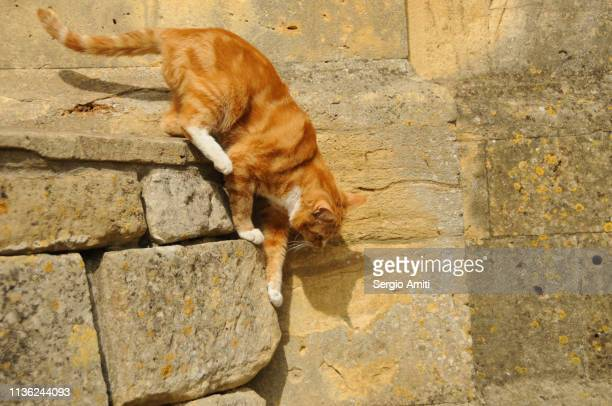Tabby cat climbing down a limestone wall