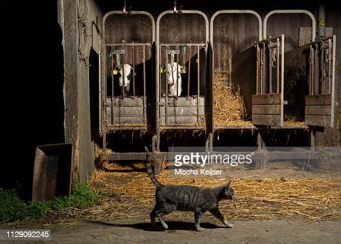 tabby cat crossing caged cows on modern dairy farm wyns