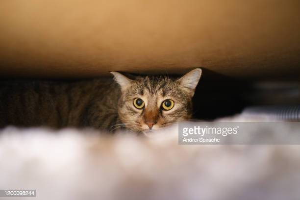 tabby cat hiding under a bed - cat hiding under bed stock pictures, royalty-free photos & images