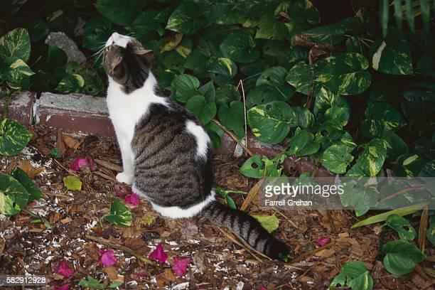 Tabby Cat in Ernest Hemingway House Garden