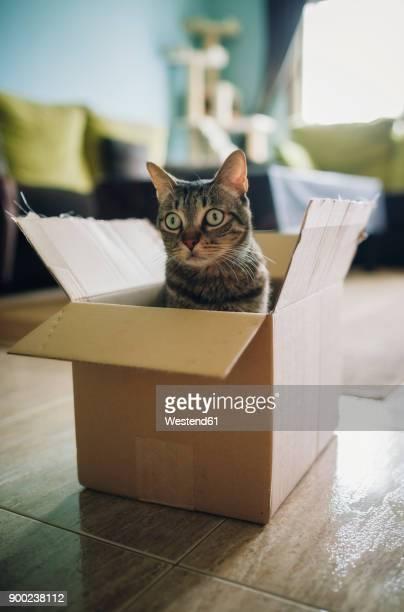 tabby cat inside cardboard box - demenagement humour photos et images de collection