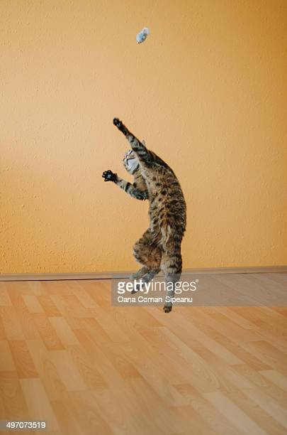 Tabby cat jumping to catch a toy-mouse