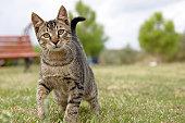 Tabby cat kitten looking at camera