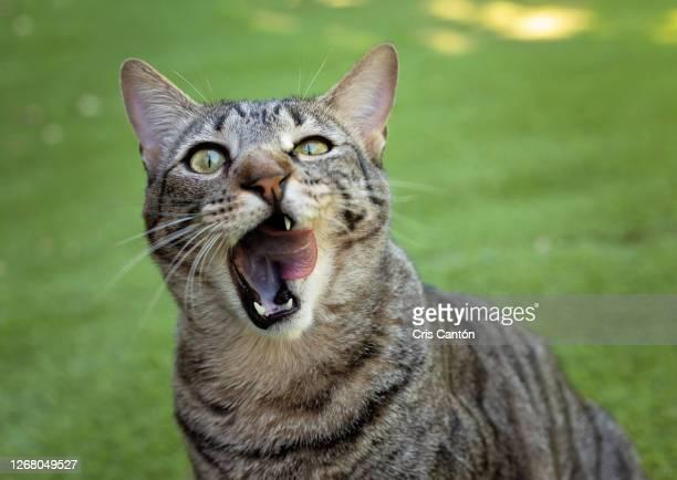 tabby cat licking his face - cris cantón photography fotografías e imágenes de stock