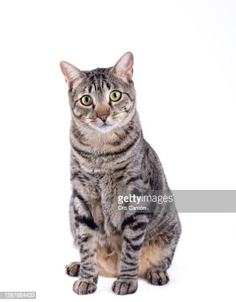 tabby cat looking at camera on white background - トラ猫 ストックフォトと画像