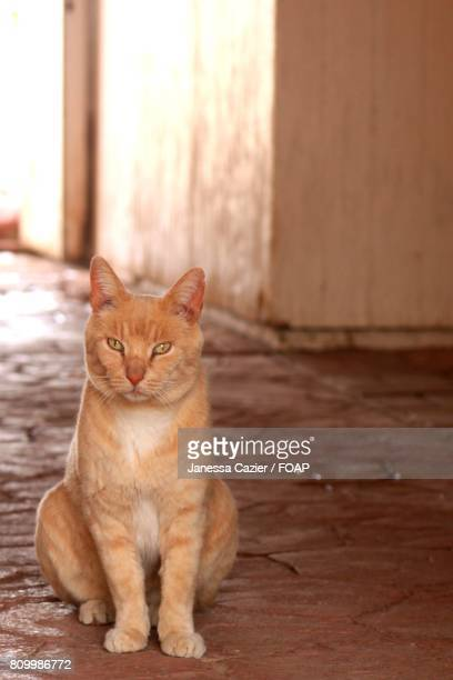 tabby cat looking at camera - janessa stock pictures, royalty-free photos & images