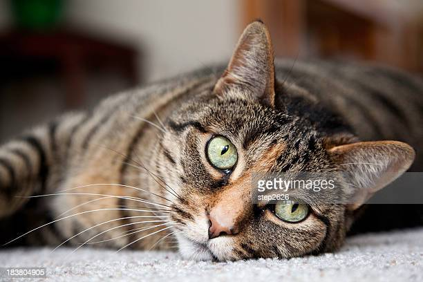 Tabby Cat Looking at You