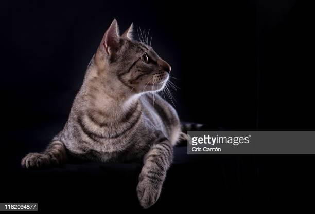 tabby cat looking away on black background - cris cantón photography fotografías e imágenes de stock