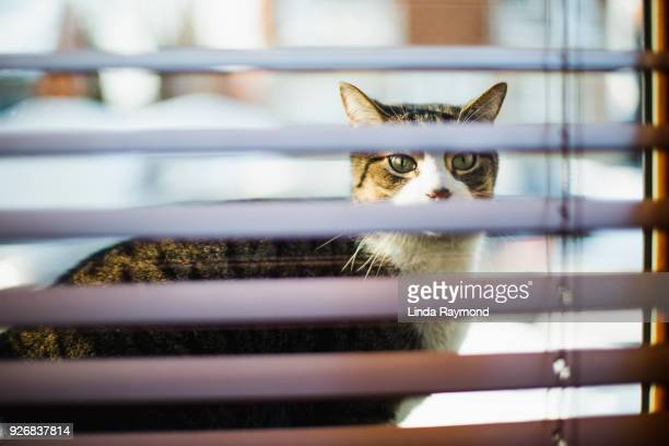 Tabby cat looking inside a house through a window and wooden blinds
