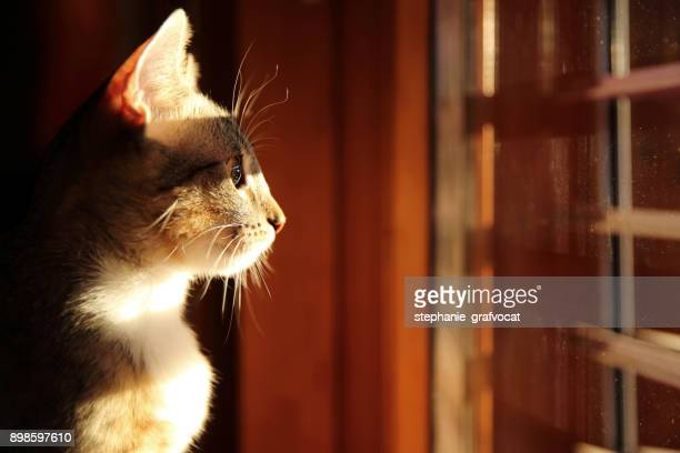 Tabby cat looking out of a window