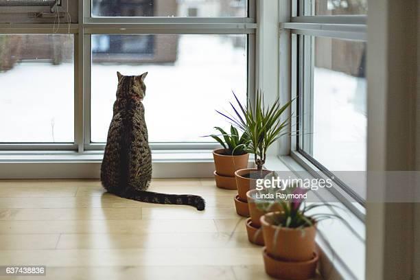 Tabby cat looking outside by a window