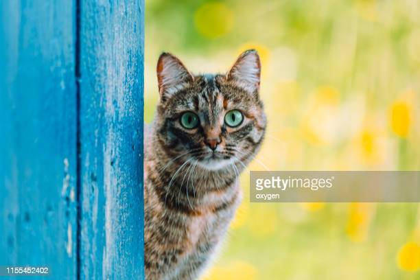 tabby cat looking outside through an open blue rustic door - funny cats photos et images de collection