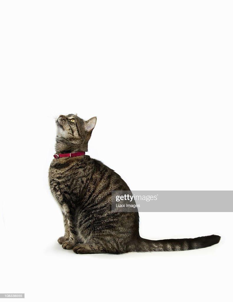 Tabby cat looking up : Stock Photo