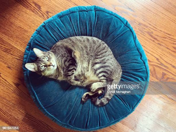 tabby cat lounging on velvet pillow - naughty america stock pictures, royalty-free photos & images