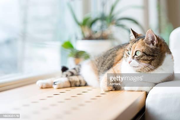 Tabby cat lying by the window relaxing