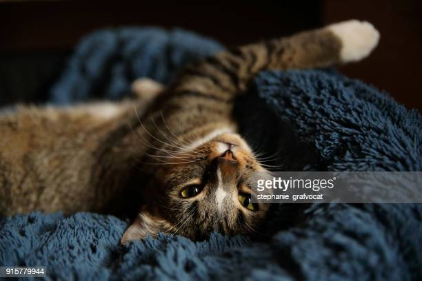 Tabby cat lying on its back on a rug