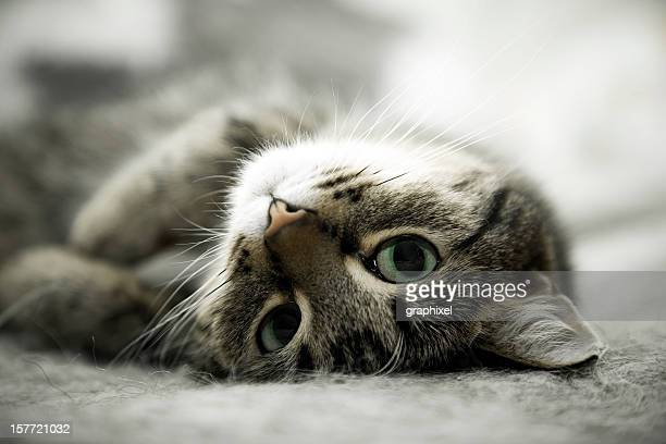 Tabby Cat Lying