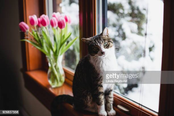 A tabby cat on a window sill with pink tulips