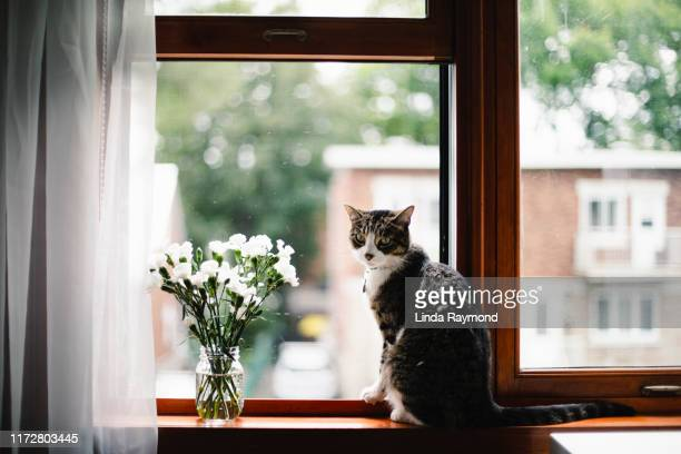 tabby cat on a window sill with white flowers - ledge stock pictures, royalty-free photos & images