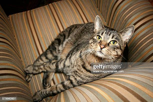 Tabby cat on striped chair looking up at camera