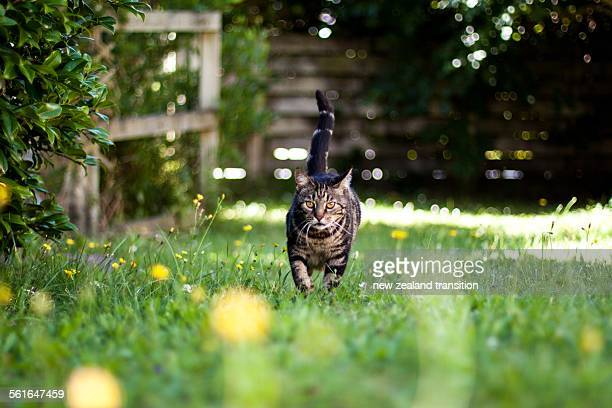 Tabby cat on the lawn