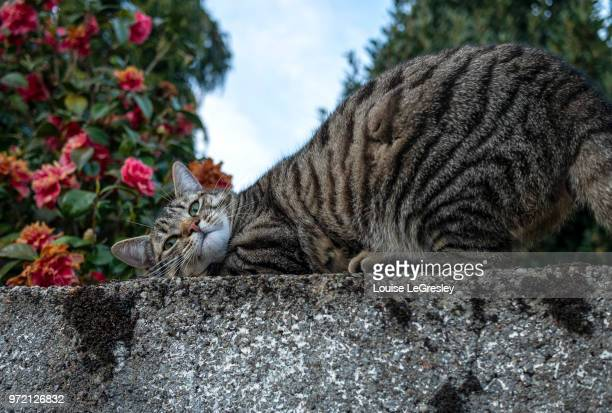 tabby cat outdoors on a stone wall - rosaceae stock photos and pictures