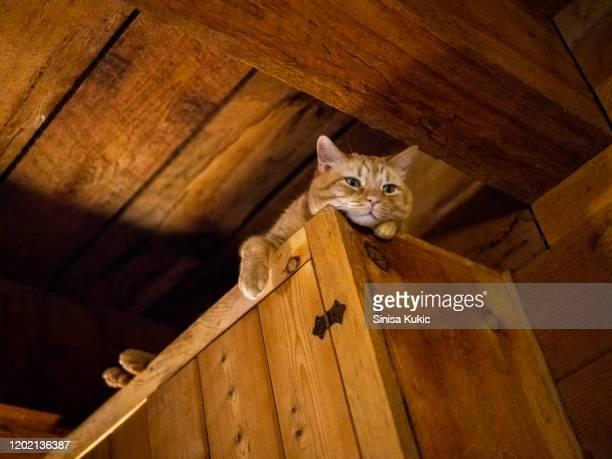 tabby cat - gatto soriano foto e immagini stock